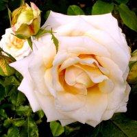 Очаровательная роза меня пленила красотой! :: VasiLina *