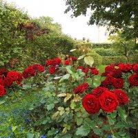 Красные розы. :: VasiLina *