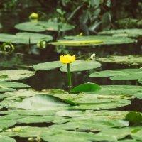 Желтая водная Лилия :: Любомир Дужак