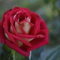 Роза :: Ксения Пышненко