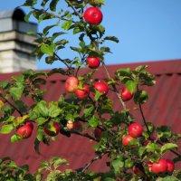 Дачные яблоки :: Ирина Румянцева