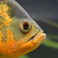 Экзотическая рыба :: Пищенька Пани