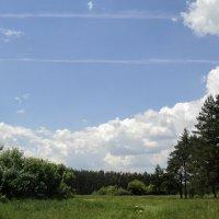 Может знает лес высоту небес? :: Ольга Кривых