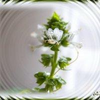Вот так цветет райхон( он же-базилик)....А запаххххххххх!!!! :: Людмила Богданова (Скачко)