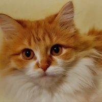Портрет рыжей кошки :: Olcen - Ольга Лён