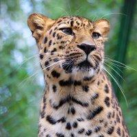 Дальневосточный леопард :: Владимир Шадрин