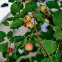 яблочки :: Света Кондрашова