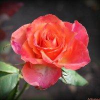 Роскошь роз... :: Андрей Заломленков
