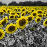 поле подсолнухов :: Олеся Ханина