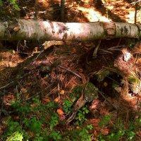 В таежном лесу :: Елена *