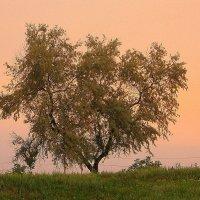 Дерево на закате. :: Оля Богданович