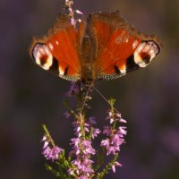 "Бабочка- ""Павлиний глаз ! :: Larisa Freimane"