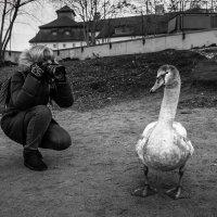 Сфотографировать толстого лебедя :: Eugene *