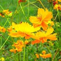 цветы  лета ! :: Ivana