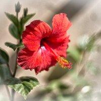 Суданская роза. :: Александр Шмалёв