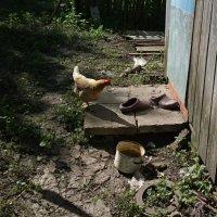 Любопытная курица :: Николай Филоненко