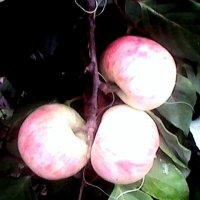яблоки и лимонние :: Лебедев Виктор