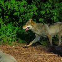 Я злой и страшный серый волк! :: Игорь Герман