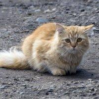 Рыжик :: Игорь Сикорский