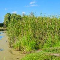 Камыши и пруд, а лягушки там живут :: Света Кондрашова