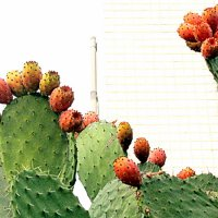 Цабры ( плоды кактусов) :: Герович Лилия