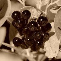 Рябина ,черноплодная. :: Лариса Журавлева