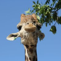 жираф :: Сергей