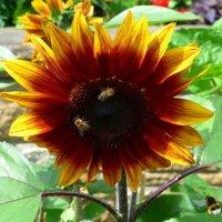 Подсолнух и пчёлки :: Nina Yudicheva