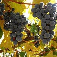 Дачний виноград :: Степан Карачко