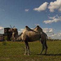 Веслевская верблюдица :: Александра