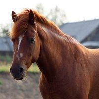 Портрет деревенской лошади :: Светлана Чуркина