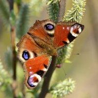 Бабочка крапивница :: Валерий Подобный