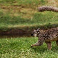 Бегом на обед...Лемурия...Мадагаскар! :: Александр Вивчарик
