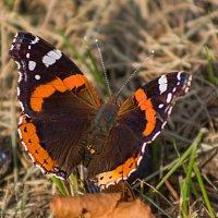 бабочка и чернослив :: Виктор _