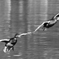 крыло о крыло ...вместе в полете... :: Svetlana AS