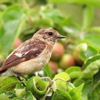 Птичка на ветке яблони :: Екатерина Торганская