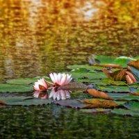 Очаровательная и нежная белая кувшинка (Nymphaea alba-rosea) ...Монастырское озеро под Бештау... г. :: Евгений Ромащенко