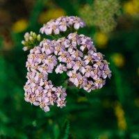 сиреневые цветочки :: Света Кондрашова