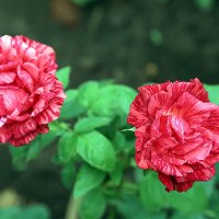 Розы :: Alexander Varykhanov