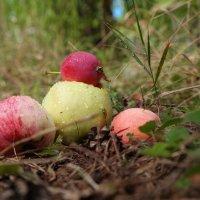 Яблочки лесные :: Андрей Заломленков