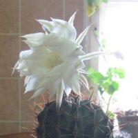 И даже кактус расцветает от любви... Фото  Валерии Черноситовой :: Yulia Deimos