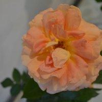 Роза. :: zoja