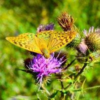Бабочка на расторопше :: Виктор Шандыбин