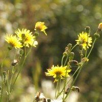 Полевые цветы :: prokyl