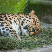леопард :: EDO Бабурин