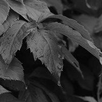 Листья винограда :: Александр Сидоров