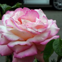 Городская  роза :: Владимир Бровко