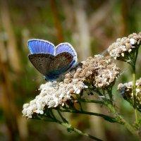голубокрылая красотка :: Александр Прокудин