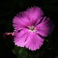 Цветок в тени :: Damir Si