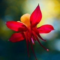Аквилегия в саду :: Наталья Мячикова